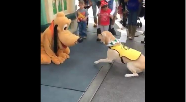 When This Little Guide Dog In Training Sees His Idol, He Loses His Cool!