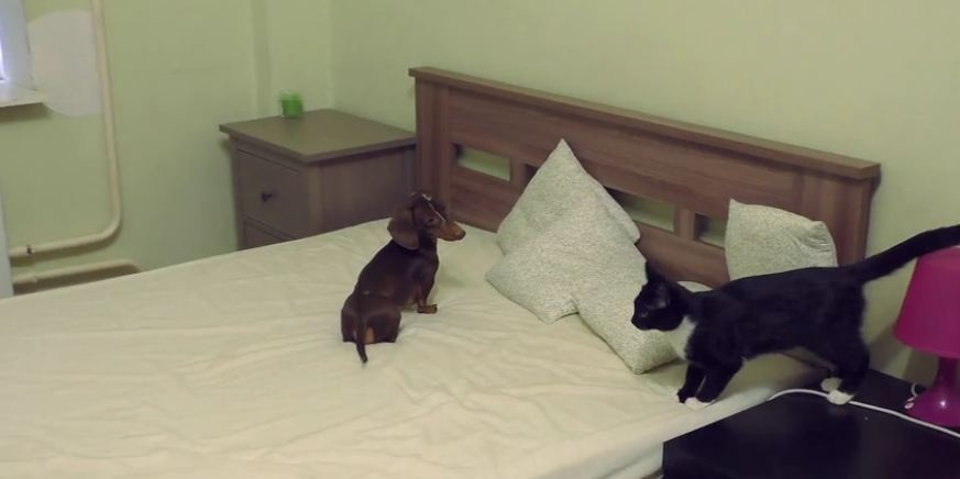 A Weenie Dog And A Kitten Face Off For Domination Over The Bed