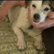 Elderly Blind And Deaf Jack Russell Terrier Missing For Two Weeks Is Found Safe