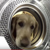 This Worried Golden Retriever Is On The Hunt For Something Special. Wait Till You See!