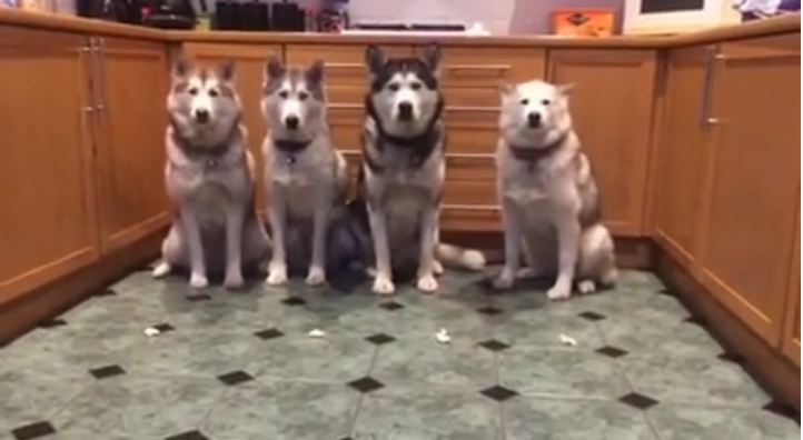 An Exercise in Patience for Four Well Behaved Huskies