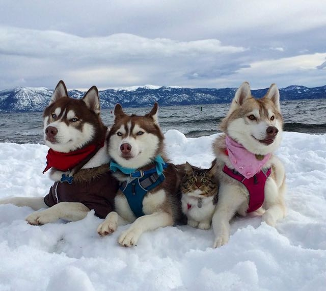 Siberian Huskies Save Kitten's Life, Now She Thinks She Is A Husky Too