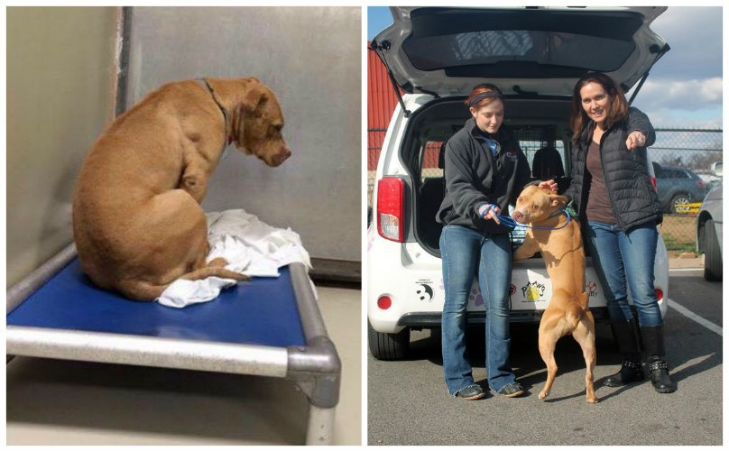 Pibble Whose First Freedom Ride Didn't Work Out Finally Gets His Second Chance