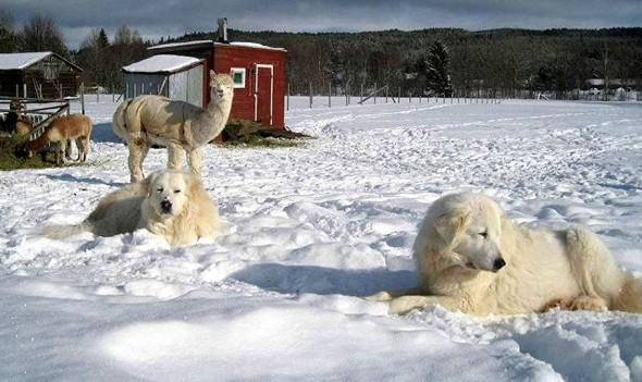 Swedish Sheepdog Adopted by Alpacas