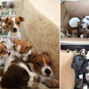 Police in Ireland find 36 puppies being smuggled in the back of two cars