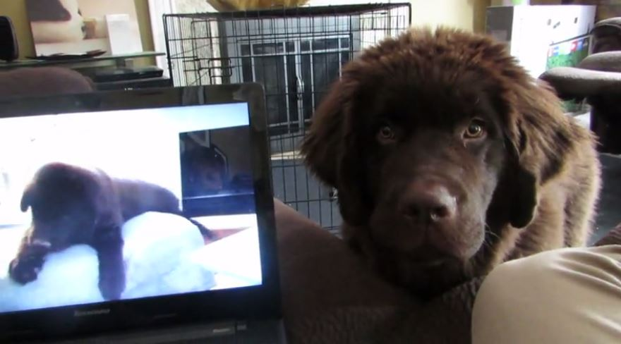 Two Puppies Go To Separate Homes. See What Happens When One Sends The Other A Video Message