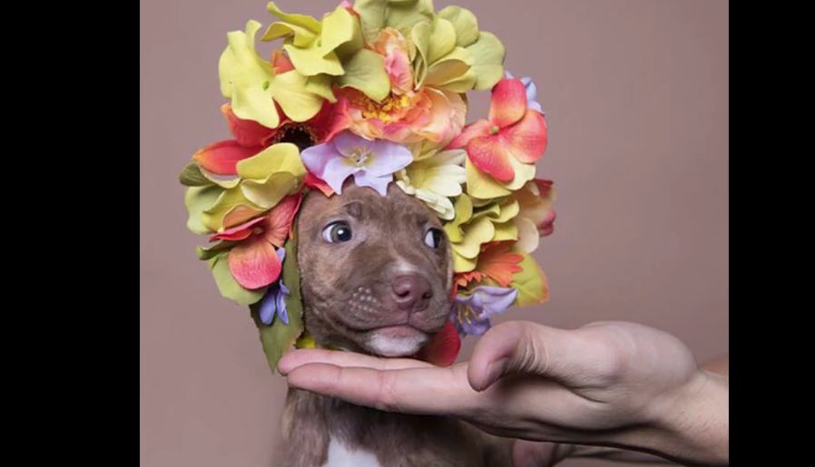 Artist Shows the Softer Side of Pit Bulls With Floral Crowns