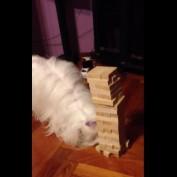 Maltese plays Jenga, successfully removes block
