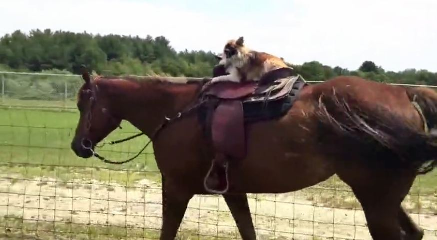 Little dog rides her big horse on her own