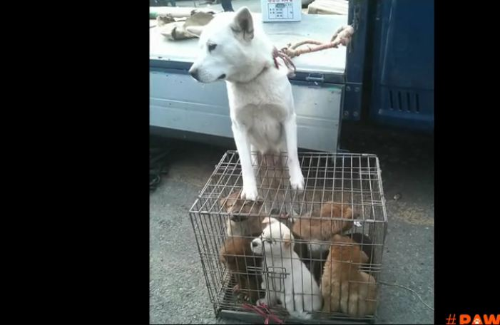 7 dogs destined for the dog meat market in Korea take first steps of freedom in America