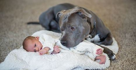 You'll Be SHOCKED When You See What This Pit Bull Does When A New Baby Arrives!!