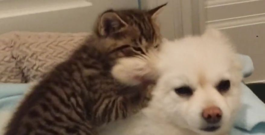 Rescued kitten loves Pomeranian dog