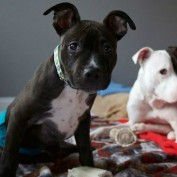 Pit Bull Pup Out Of Options – You Have To WATCH What Happened Next!!
