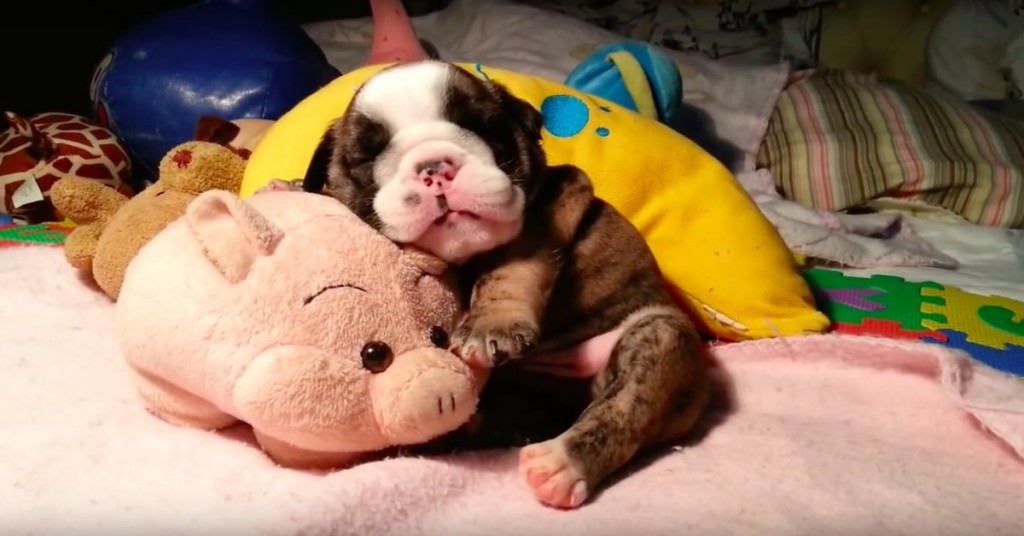 This Adorable English Bulldog Puppy Fell Asleep Hugging His Stuffed Pig. Get Ready To Fall In Love