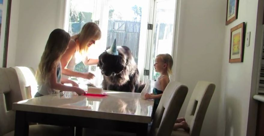 Giant dog celebrates his birthday