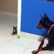 Large Doberman Gets Scared by Tiny Plush Toy