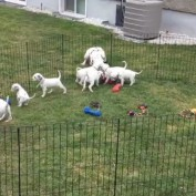 Baby Dalmatians Watch Their Two Big Parents Playing With Each Other