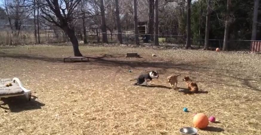 Disabled Pit Bull Plays With Rescued Street Dog