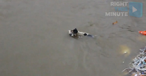 Mom Dog Saves Her Puppies From Floodwaters!