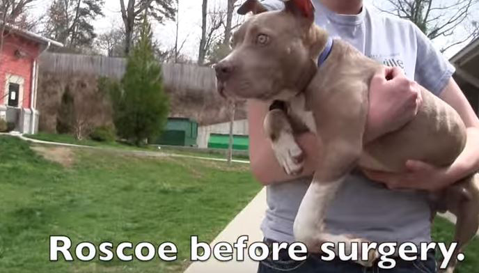 Pit Bull Only Able To Crawl His Whole Life Walks For First Time After Surgery!