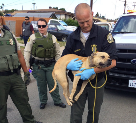 Dog Fighting Ring Busted in San Diego Suburb