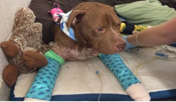 Suspected Bait Dog Rescued from South Carolina Roadside