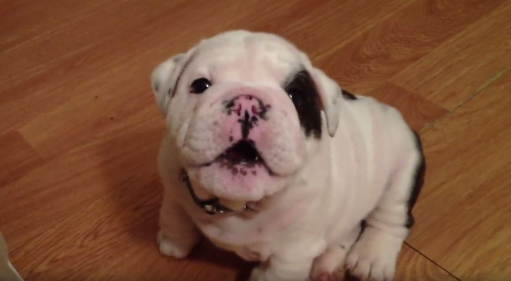 This Little Puppy's Pouting Is The Cutest Thing On The Planet!