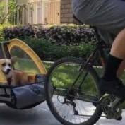 Corgi sits back, enjoys lovely bike ride