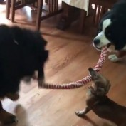 Tug-of-War Between 3 Dogs Has Surprise Ending