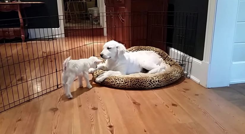 Four-Month-Old Puppy Meets Four-Day-Old Goat