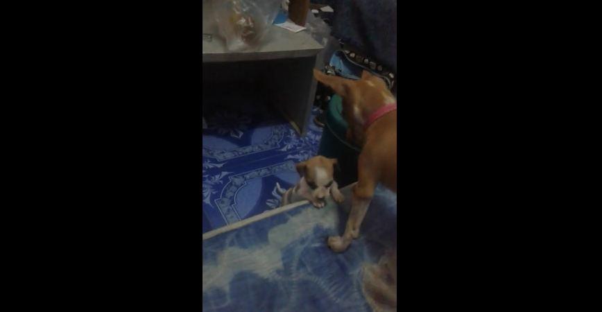 Puppy helps puppy