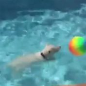 Water-loving Westie plays with new pool toy