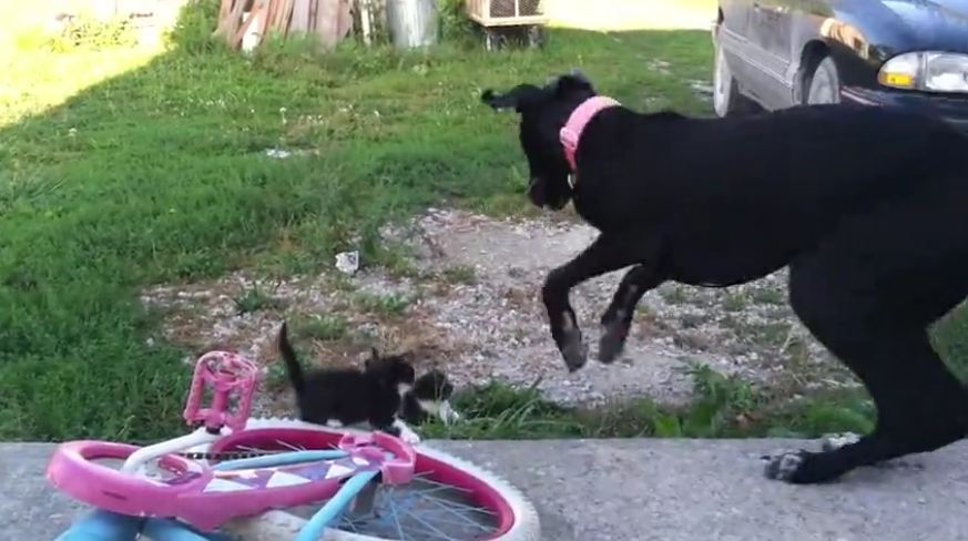 This Massive Dog Can't Even Handle Playing With Tiny Kittens