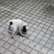 Teddy The Sweet Little Dog Plays In The Rain For The First Time