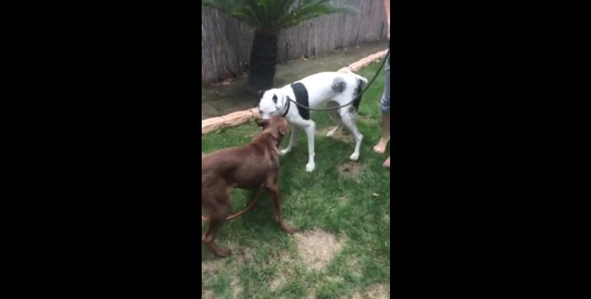 Blind Great Dane Learns How To Make Friends With Other Pups