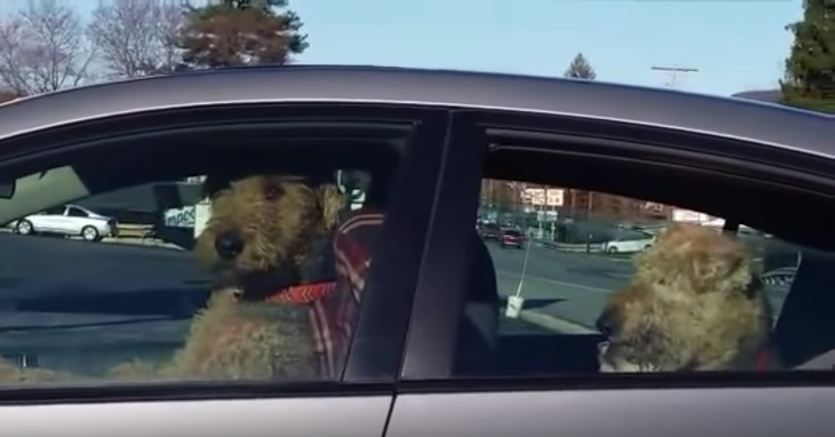 Impatient Dog Lays On The Horn–Wait 'Til You See The Look On His Face!