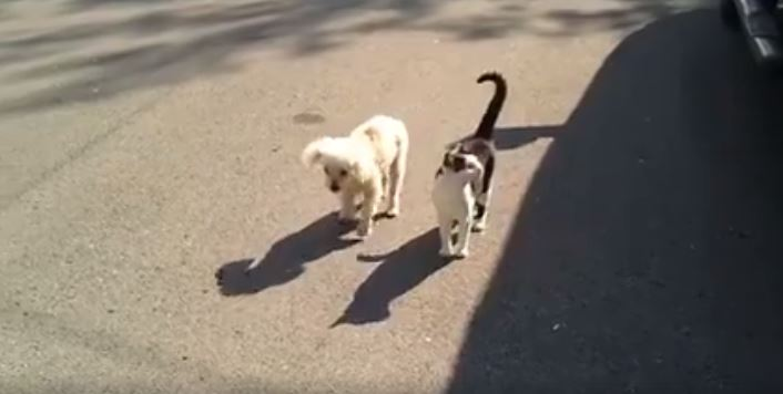 Thoughtful Cat Guides Blind Dog As They Go For A Walk