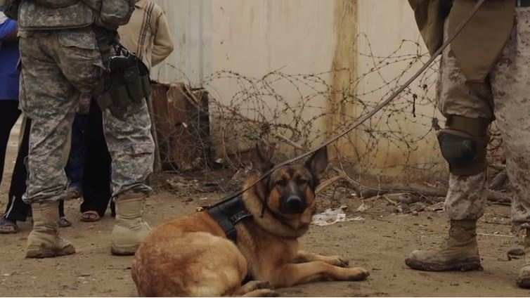 Dog Who Lost Her Leg In Afghanistan Is Really Loving Her Retirement