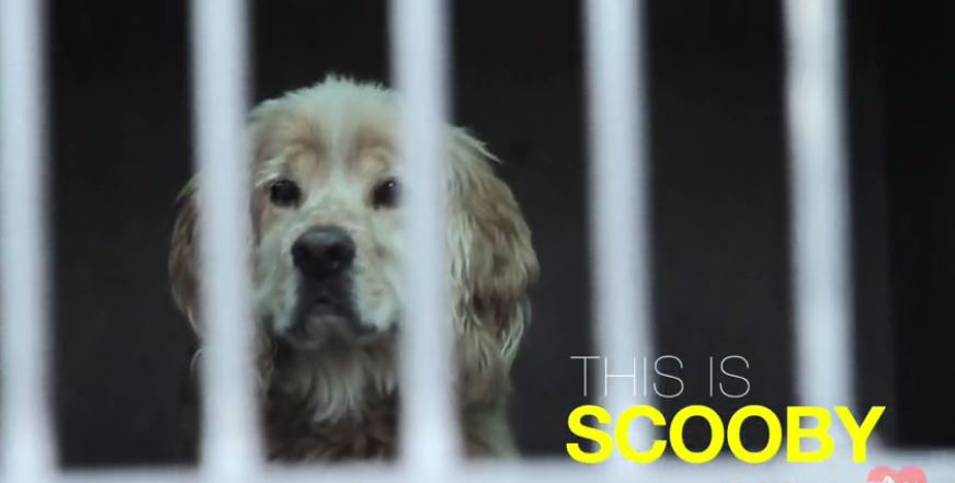 Senior Cocker Spaniel Mix Left at Shelter When Owner Died Gets Transformation