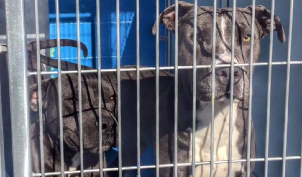 A Caring Neighbor Saves Two Pit Bulls Just In The Nick Of Time