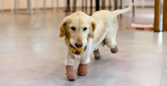 Amputated Limbs did not stop this dog to run to her new family