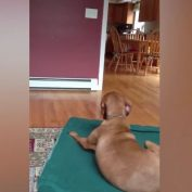 Adorable Dog Wants To Be Wrapped In A Blanket