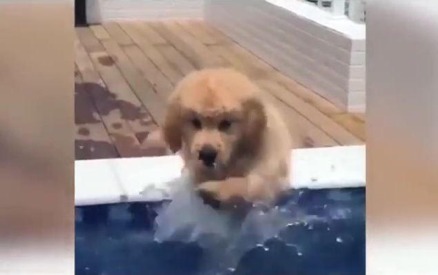 Everyone (Almost) into the Pool! Golden Pup Practices His Paddle