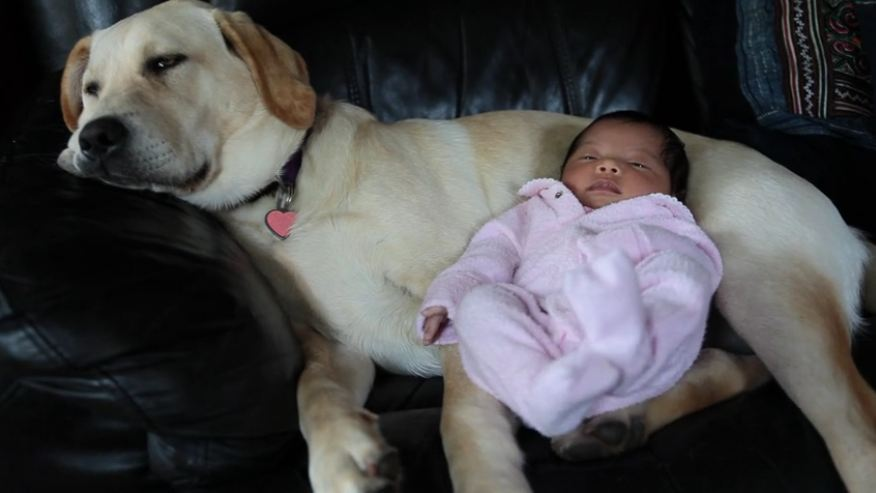 Labrador puppy babysits newborn baby