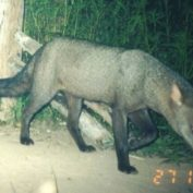 Rare and Elusive Wild Jungle Dog Caught on Camera by Accident