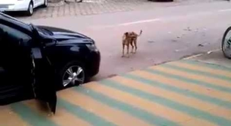 The Dog Approaches A Car Blaring Loud Music. What He Does Is Hilariously Unexpected!