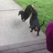 Dachshund Helps His Brother Do a Handstand Walk
