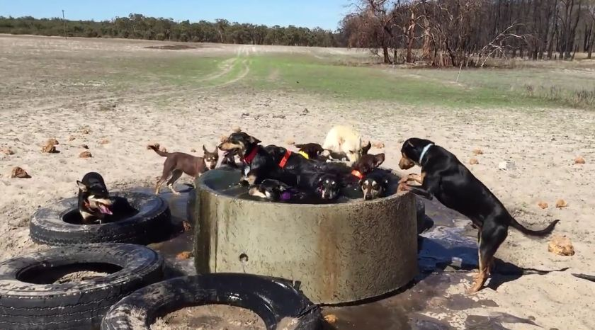 Group Of Dogs Runs To Cool Off In A Watering Hole