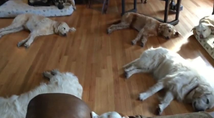 Mom Films Her Adorable Herd Of Dogs Sleeping Peacefully