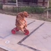 This Dog Rides A Tricycle Like A Human!